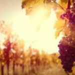 Experts say <b>French</b> heat wave is killing wine production