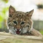 Bobcat kitten and juvenile bald eagle take up residence at Salato <b>Wildlife</b> <b>…</b>